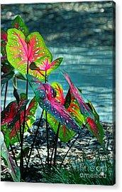 Calladiums Acrylic Print by Judi Bagwell