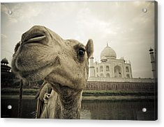 Camel In Front Of The Yamuna River And Acrylic Print by David DuChemin