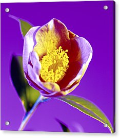 Camellia Flower (camellia Sp.) Acrylic Print by Johnny Greig