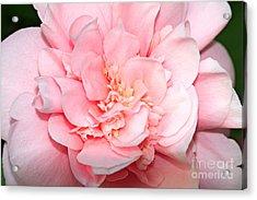 Camellia Acrylic Print by Louise Heusinkveld