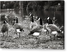 Canada Geese Acrylic Print by Blink Images