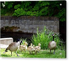 Canada Geese With Goslings Acrylic Print by Will Borden