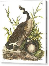 Canada Goose Acrylic Print by John James Audubon