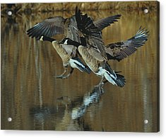 Canada Goose Trio Landing - C0843m Acrylic Print by Paul Lyndon Phillips