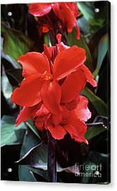 Canna Lily 'assaut' Acrylic Print by Adrian Thomas