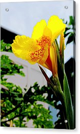 Canna Yellow Flowers. Acrylic Print by Pitakpong Chansri