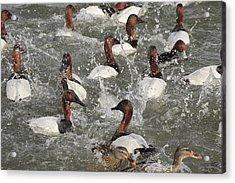 Canvasback Ducks In A Feeding Frenzy Acrylic Print by George Grall
