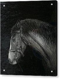 Capall Doracha Acrylic Print by Tomas OMaoldomhnaigh