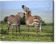 Cape Mountain Zebra Stallions Sparring Acrylic Print by Peter Chadwick