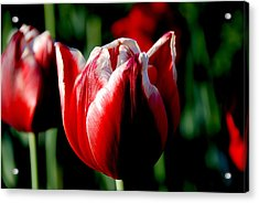 Capital Tulip Acrylic Print by Christy Phillips
