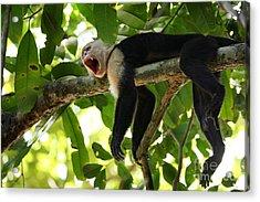 Capuchin Monkey Acrylic Print by Matt Tilghman