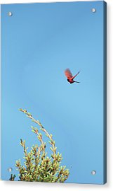 Cardinal In Full Flight Digital Art Acrylic Print by Thomas Woolworth
