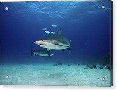 Caribbean Reef Sharks Acrylic Print by James R.D. Scott
