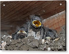 Caring For Baby Birds Www.pictat.ro Acrylic Print by Preda Bianca Angelica