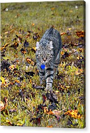 Cat In Autumn Acrylic Print by Susan Leggett