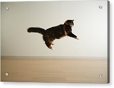 Cat Jumping In Air Acrylic Print by Junku