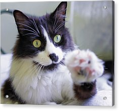 Cat Reaches For Camera Acrylic Print by Lori Coleman