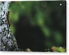 Caterpillar Acrylic Print by Alan Sirulnikoff
