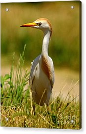 Cattle Egret With Closed Eyelid Acrylic Print by Robert Frederick