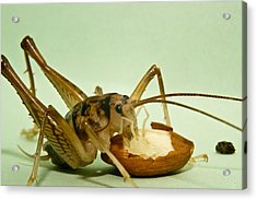 Cave Cricket Feeding On Almond 8 Acrylic Print by Douglas Barnett