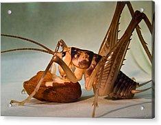 Cave Cricket Feeding On Almond Acrylic Print by Douglas Barnett