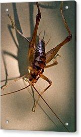 Cave Cricket In Shadow 2 Acrylic Print by Douglas Barnett