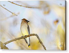 Cedar Waxwing On Yellow And Blue Acrylic Print by Susan Gary