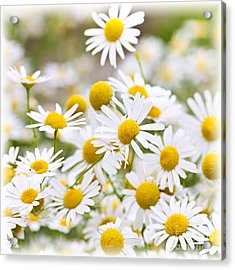 Chamomile Flowers Acrylic Print by Elena Elisseeva
