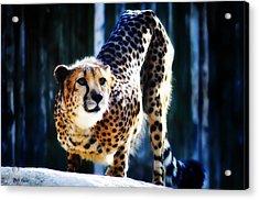 Cheeta Acrylic Print by Bill Cannon
