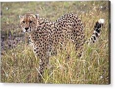 Cheetah Acinonyx Jubatus, Masai Mara Acrylic Print by Chris Upton
