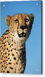 Cheetah Acinonyx Jubatus Portrait Acrylic Print by Ingo Arndt