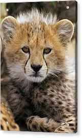 Cheetah Acinonyx Jubatus Ten To Twelve Acrylic Print by Suzi Eszterhas
