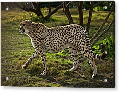 Cheetah  Acrylic Print by Garry Gay