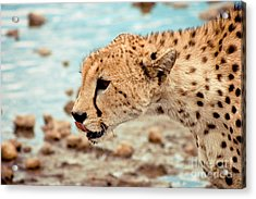 Cheetah Headshot Acrylic Print by Darcy Michaelchuk