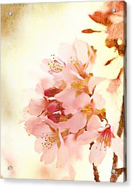 Cherry Blossom Acrylic Print by Kim Fearheiley