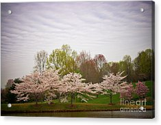 Cherry Blossoms At Meadowlark Acrylic Print by Susan Isakson