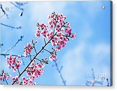 Cherry Blossoms Sakura Acrylic Print by Chaloemphan Prasomphet