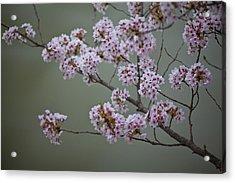 Cherry Tree Blossoms Hang Acrylic Print by Hannele Lahti