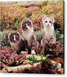 Chinchilla-cross Kittens Acrylic Print by Jane Burton