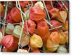 Chinese Lantern Flowers Acrylic Print by Jane Rix