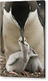 Chinstrap Penguin Feeding Two Chicks Acrylic Print by Maria Stenzel
