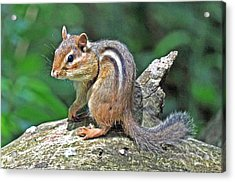 Acrylic Print featuring the photograph Chipmunk by Rodney Campbell