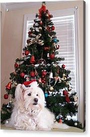 Christmas Card Dog Acrylic Print by Vijay Sharon Govender
