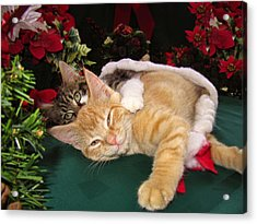Christmas Time W Two Cats Together - Baby Maine Coon Kitty Cuddling With Smug Orange Tabby Kitten Acrylic Print by Chantal PhotoPix
