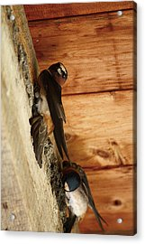 Cliff Swallows 1 Acrylic Print by Scott Hovind