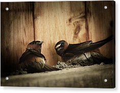 Cliff Swallows 3 Acrylic Print by Scott Hovind