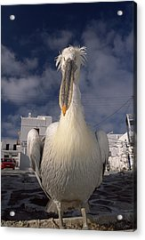 Close Portrait Of A White Pelican Acrylic Print by Paul Sutherland