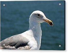 Close Seagull Acrylic Print by Wendi Matson