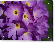 Close Up Of A Cluster Of Purple Acrylic Print by Joe Petersburger