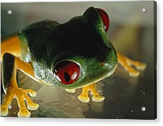 Close-up Of A Red-eyed Tree Frog Acrylic Print by Paul Zahl